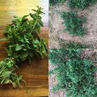 Oregano_collage
